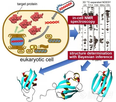 """""""细胞内""""和""""试管内""""蛋白质的结构差异可能是由与细胞内其他分子的非"""