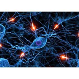 大鼠主动脉平滑肌细胞
